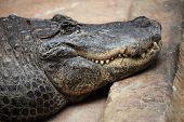 image of alligators  - American alligator  - JPG