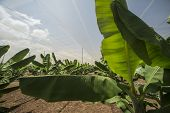 stock photo of greenhouse  - Banana growing in plantation greenhouse industry agriculture - JPG