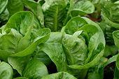 foto of gem  - Close up of Little Gem Romaine Lettuce in a garden - JPG