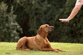 image of hound dog  - A white hand of a caucasian woman showing her obedient Rhodesian Ridgeback hound dog with cute expression in the face the sign for DOWN outdoors in the park