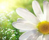 image of daisy flower  - Wild Daisy - JPG