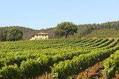 Постер, плакат: Виноградник в Маремма Тоскана
