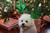 Bichon Frise. Bichon Frise Christmas Portrait. White dog with Green Christmas Antlers under a Christ poster