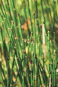Horsetail Grass Grow In Sunlight. Jointed Stems Of Puzzletail Grass Close Up. Green Equisetum In Sun poster
