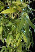 Marijuana Plant. Medical or Recreational Marijuana Plant with Blue Christmas lights. Black velvet ba poster