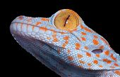 foto of tokay gecko  - A baby tokay gecko is posing for a portrait - JPG