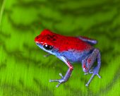 image of poison dart frogs  - strawberry poison dart frog red and blue Oophaga pumilio from the Escudo Island Bocas del Toro in Panama tropical rainforest animal - JPG
