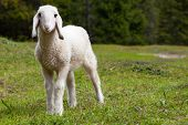 picture of baby sheep  - Portrait of an adorable beautiful lamb standing in a green alpine meadow - JPG