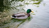 stock photo of canard  - A duck swimming on a lake on a sunny day - JPG