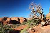 picture of juniper-tree  - Arches National Park in Utah USA - JPG