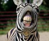 stock photo of animal teeth  - Funny Zebra smile and teeth in the zoo - JPG