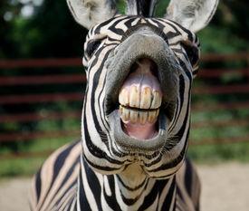 stock photo of zoo  - Funny Zebra smile and teeth in the zoo - JPG
