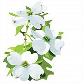 stock photo of dogwood  - Hand drawn vector illustration of dogwood blossom - JPG