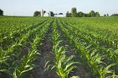 foto of corn  - A green field of young corn plants with a farm in the background - JPG