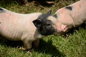 pic of pot bellied pig  - Thai style Vietnamese Pot Belly piglet nursery house in Thai pig farm - JPG