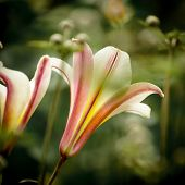 picture of easter lily  - Closeup of Lilium longiflorum  - JPG