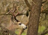 stock photo of black tail deer  - A trophy Black - JPG