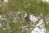 stock photo of fish-eagle  - African Fish Eagle in Queen Elizabeth National Park in Uganda - JPG