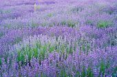 image of lavender field  - Lavender flowers field in summer meadow. Nature composition.