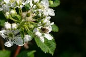 foto of time flies  - the young white blackberries florets fly two small bees summer time - JPG