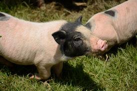 picture of pot-bellied  - Thai style Vietnamese Pot Belly piglet nursery house in Thai pig farm - JPG