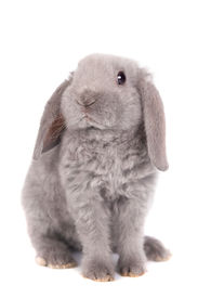 pic of dwarf rabbit  - Grey lop-eared rabbit rex breed isolated on white ** Note: Shallow depth of field - JPG