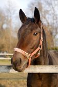 Head Shot Of A Purebred Saddle Horse Looking Over Corral Fence poster