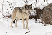 foto of horrific  - A lone Grey Wolf in a winter environment  - JPG