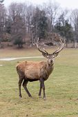 stock photo of bambi  - Large elk in a green - JPG
