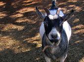 image of pygmy goat  - A horned dwarf - JPG