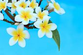 stock photo of frangipani  - Frangipani flowers on a tree in the garden