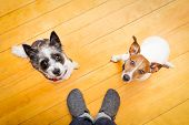 foto of begging dog  - two dogs begging looking up to owner begging for walk and play on the floor inside their home - JPG