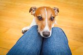 picture of begging dog  - jack russell dog ready for a walk with owner or hungry begging on lap inside their home - JPG