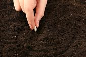 foto of seed  - Female hand planting white bean seed in soil - JPG