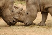 foto of mating  - White rhinoceros horn battle for mating rights