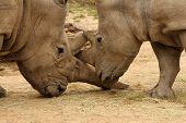 stock photo of mating  - White rhinoceros horn battle for mating rights