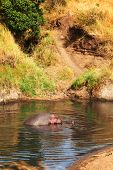 picture of hippopotamus  - Hippopotamus yawning in the water Masai Mara Kenya - JPG