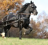 picture of harness  - Gorgeous black welsh cob running in autumn harness up
