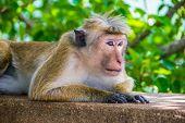 picture of marmosets  - Photo of the monkey is lying outdoor in Sigiriya Sri Lanka - JPG