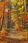 picture of fall trees  - fall in forest  - JPG
