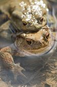 stock photo of mating  - Close up of Mating of toads Bufo in water - JPG