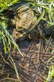 picture of mating  - Close up of Mating of toads Bufo in water with black eggs - JPG