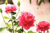 stock photo of rose bud  - Red roses and buds - JPG