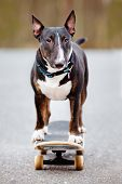 stock photo of bull-riding  - black english bull terrier on a skateboard - JPG