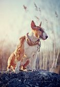 pic of bulls  - The attentive red dog of breed a bull terrier in a checkered scarf sits on a stone - JPG