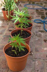 pic of opiate  - Farming Marijuana plants home plants - JPG