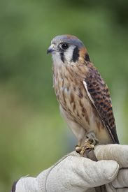 picture of falcons  - An American Kestrel (Falco sparverius) perching on the glove of a falconer. ** Note: Visible grain at 100%, best at smaller sizes - JPG