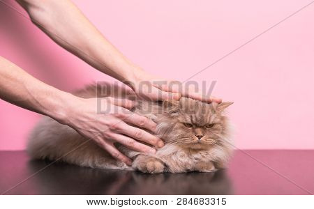 poster of Men's Hands Stroke An Evil Cat On A Pink Background. Man Stroking A Cat, A Cat Does Not Like It. Cat