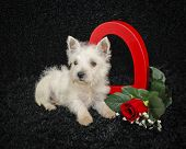image of westie  - Westie puppy with a heart and a red rose on a black background - JPG