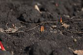 Young Sprouts Of A Garden Tulip Growing From Soil In Flower Bed. Natural Sprouts Of A Plant In Garde poster